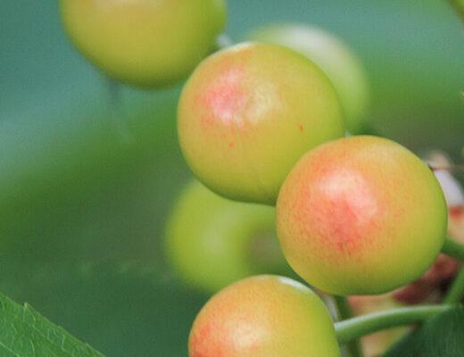 Palo Santo Fruit